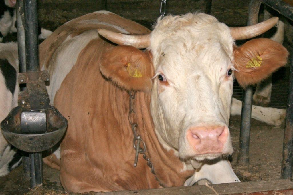 Krava padla v hlevski jašek!